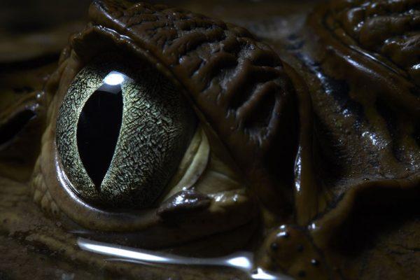 Caiman Eye