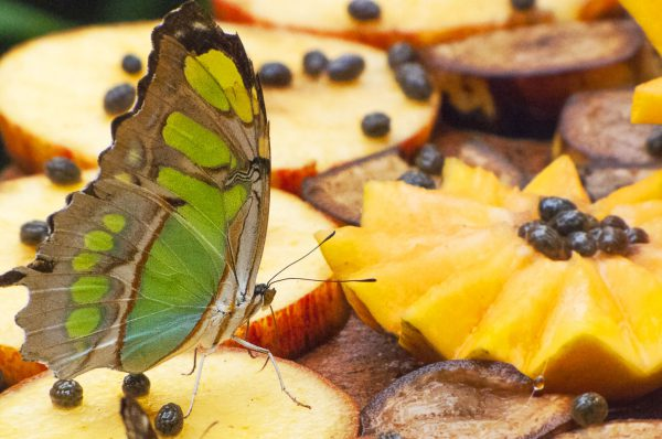 Kite Swallowtail Butterfly